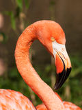 Portrait of Caribbean flamingo Royalty Free Stock Photography