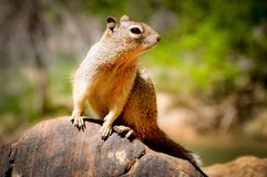 Portrait of Caroline`s Grey Squirrel Sat on a Rock Stock Images