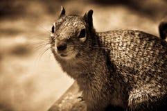 Portrait of Caroline`s Grey Squirrel Sat on a Rock Stock Photos