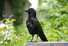 Portrait of a carrion crow Royalty Free Stock Image