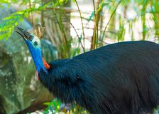 Portrait of Cassowary bird. Native to the tropical forests of New Guinea and northeastern Australia Stock Photos