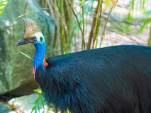 Portrait of Cassowary bird. Native to the tropical forests of New Guinea and northeastern Australia Royalty Free Stock Image