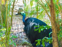 Portrait of Cassowary bird. Native to the tropical forests of New Guinea and northeastern Australia Stock Image