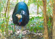 Portrait of Cassowary bird. Native to the tropical forests of New Guinea and northeastern Australia Royalty Free Stock Photography