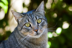 Portrait of a Cat. Portrait of a grey tabby cat stock photos