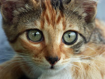 Portrait of Cat. Photographz of sweet little cat Royalty Free Stock Image