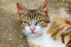 Portrait of cat. Portrait of yellow eyed cat resting outdoors Royalty Free Stock Image