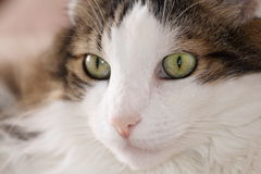 Portrait of cat Royalty Free Stock Image