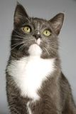 Portrait of a cat. A portrait of a grey and white cat on grey Stock Photography