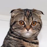 Portrait of a cat. Portrait of the scottish fold cat Royalty Free Stock Photography