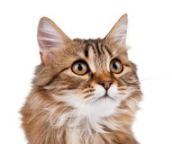 Portrait of cat Royalty Free Stock Photo