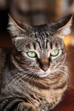 Portrait of a cat. With green eyes Royalty Free Stock Photography