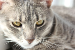 Portrait of a cat. Portrait of a laying grey cat Royalty Free Stock Photos