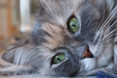 Portrait of a cat beautiful fluffy grey cat with green eyes, cloes up stock images