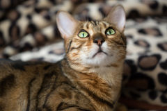 Portrait of a cat Bengal Stock Image