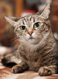 Portrait of a cat with big eyes Stock Images