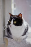 Portrait of a cat of a black-and-white color Royalty Free Stock Photography