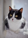 Portrait of a cat of a black-and-white color with yellow eyes. Stock Photography