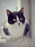 Portrait of a cat of a black-and-white color with yellow eyes. Royalty Free Stock Photography
