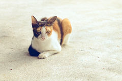 Portrait cat black white and orange color sitting on the floor Royalty Free Stock Photos