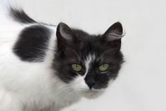 Portrait of a cat black and white wool colors: black head and black spots on the body, piercing green eyes, white background is a Royalty Free Stock Image