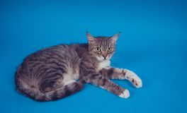 Portrait of a cat on a blue background. Pet resting. Empty space for text stock image