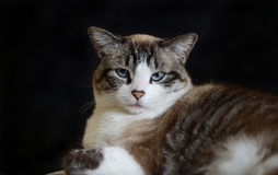 Portrait of cat Royalty Free Stock Photos