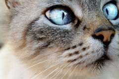 Portrait of cat with blue eyes.. Portrait of gray cat with blue eyes.. ready to jump to catch his prey Royalty Free Stock Photo