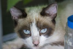 Portrait of a cat with blue eyes lying and looking at the camera. Wildlife concept royalty free stock photo
