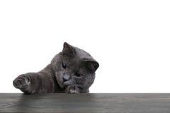 Portrait of cat on blue wooden board copyspace Stock Photo