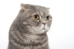 Portrait of a cat breed Scottish Fold close-up. Stock Image