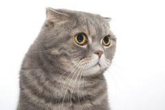 Portrait of a cat breed Scottish Fold close-up. Stock Image
