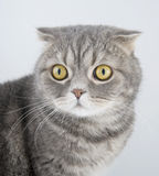 Portrait cat of breed the Scottish fold. 