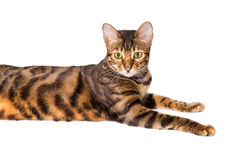 Portrait of cat breed Toyger Stock Photos