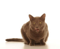 Cat with brown fur Stock Images