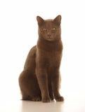Cat with brown fur Stock Photos