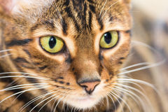 Portrait of cat brown mackerel tabby color, close-up. Royalty Free Stock Images