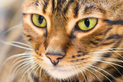 Portrait of cat brown mackerel tabby color, close-up. Shallow depth of field Stock Photo