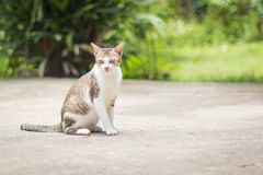 Portrait of cat. Portrait of Calico cat on the floor Royalty Free Stock Images