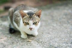 Portrait of cat. Portrait of Calico cat on the floor Stock Photography