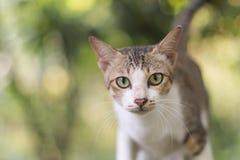 Portrait of cat. Portrait of Calico cat on the floor Stock Photos