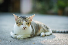Portrait of cat. Portrait of Calico cat on the floor Royalty Free Stock Photos