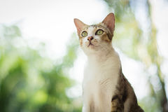 Portrait of cat. Portrait of Calico cat on the floor Royalty Free Stock Photography