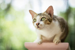 Portrait of cat. Portrait of Calico cat on the floor Royalty Free Stock Photo