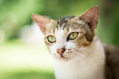 Portrait of cat. Portrait of Calico cat on the floor Royalty Free Stock Image