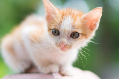 Portrait of cat. Portrait of Calico cat on the floor Stock Photo