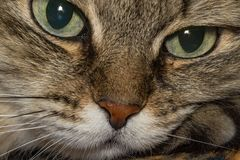 Portrait of a cat. A cat thinks about life eyes are full of hesitation Stock Photos