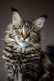 Portrait of a cat. Stock Photography