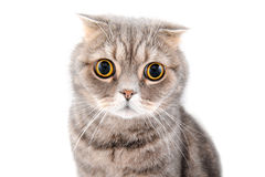 Portrait of a cat close-up. Breed Scottish Fold. Stock Photos