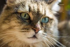 Portrait of a cat close-up. Striped looking at the camera on the street royalty free stock photos